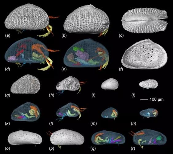 КТ-изображения остракод, найденных в янтаре, с их репродуктивными органами, выделенными цветом