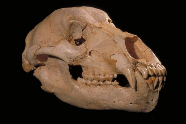 Реконструкция черепа медведя