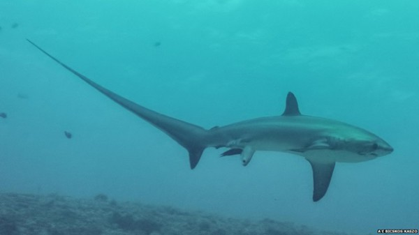 Роды у акулы
