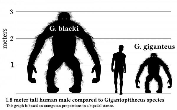 Сравнение человека и Gigantopithecus blacki