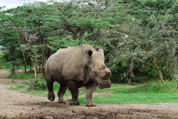 Фото носорога Суни 2010 года