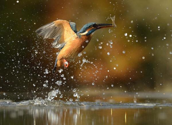 Фотограф охотился за нырянием зимородков