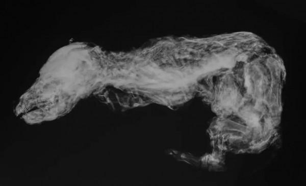 Рентгеновские снимки древнего волчонка