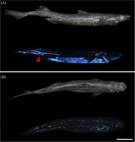 Чернобрюхая акула-фонарь