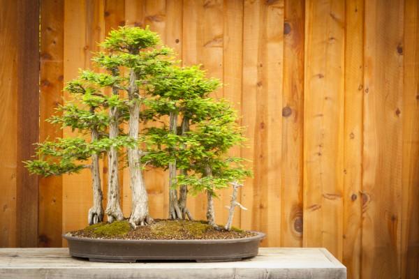 """Как вырастить дерево """"Бонсай"""""""