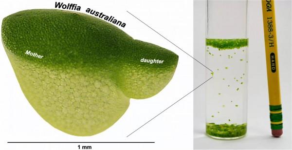 Схема, показывающая дочернее растение, которое распускается от материнской почки