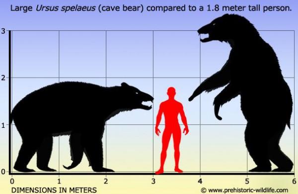 Сравнение роста медведей и человека