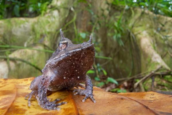 Лягва рогатая. Эта лягушка (Ceratobatrachus guentheri) живет только на Соломоновых островах. Голова треугольная, сплющенная, спереди вытянутая. Стадию головастика эти амфибии проживают еще в яйце: вылупляется уже полноценная лягушка.
