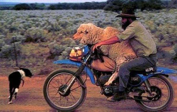 Овца любит прокатиться с ветерком