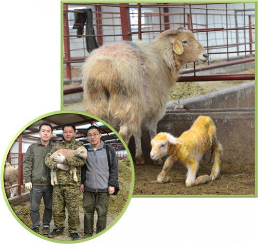 Мясо и молоко клонированной овцы должно быть полезней обычного