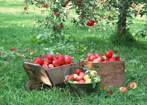 Ньютон вдохновлялся треском яблок о голову