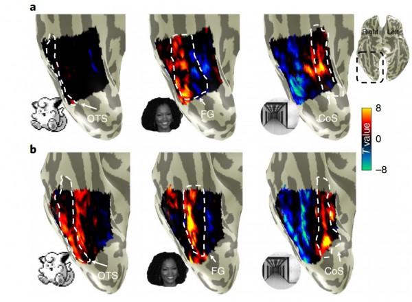 Реакция обычных людей (а) и любителей покемонов (b) на разные визуальные стимулы, указана вентральная поверхность коры /