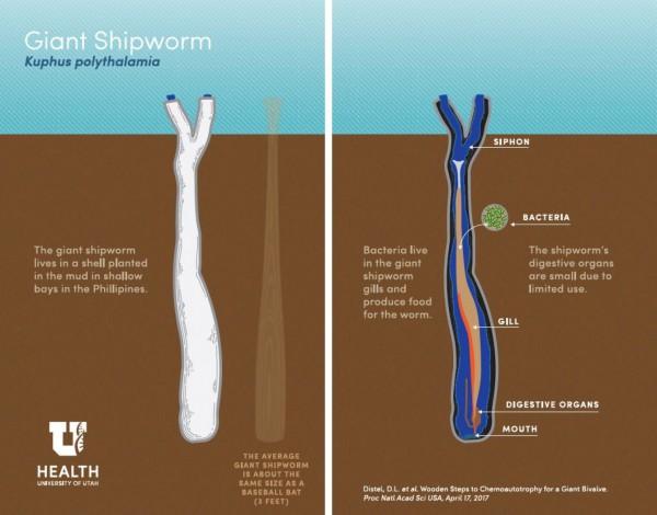 Kuphus polythalamia питается сероводородом