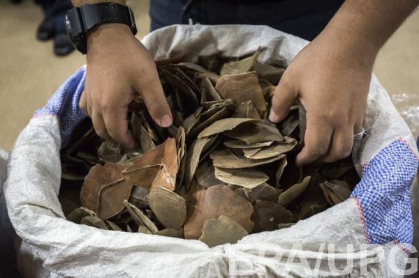 Чешуя панголинов используется в китайской медицине