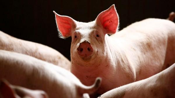 Удалось оживить мозг свиньи