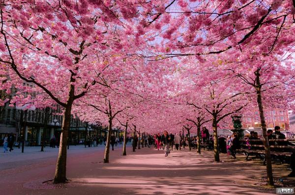 Фестиваль сакуры в Ужгороде стартует 20 апреля.