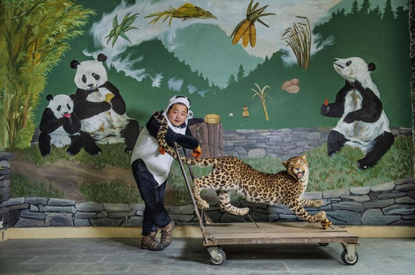 С помощью этого веселого чучела леопарда сотрудники заповедника определяют, готова ли маленькая панда для жизни в дикой природе.