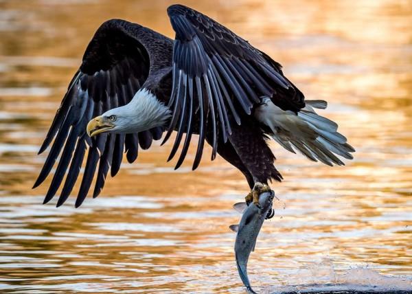 Орел, схвативший рыбу