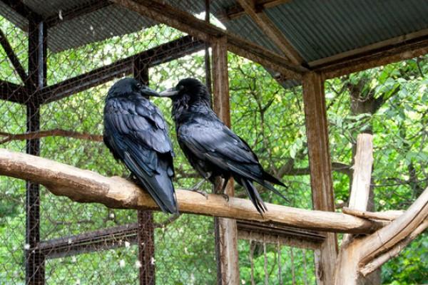Вороны во дворе на Рейтарской