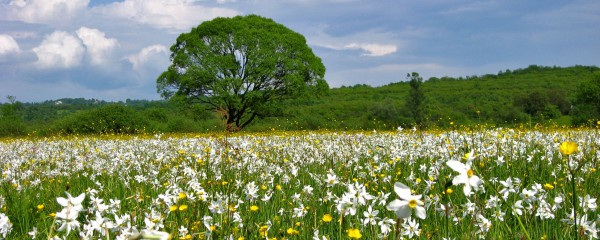 Долина нарциссов цветет с начала и до середины мая.