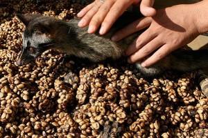 Объём производства кофе Копи Лювак не превышает нескольких сотен килограммов в год