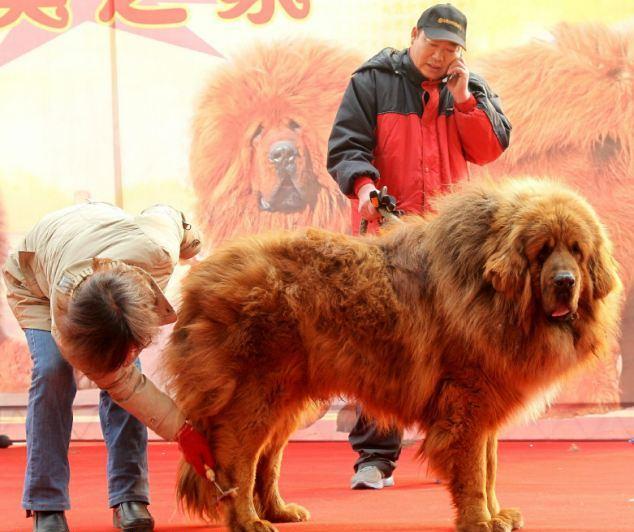 Тибетский мастиф - одна из древнейших и самых ценных пород собак в мире. проданных на аукционе в провинции Хэбэй в