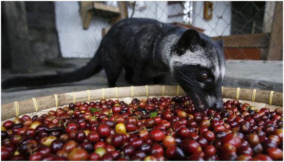 Кофейные зерна, которые не смог переварить желудок индонезийского зверька циветты, раньше считались самыми дорогими в мире
