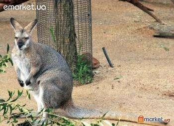 В интернете продают экзотических животных. Валлаби - карликовый кенгуру