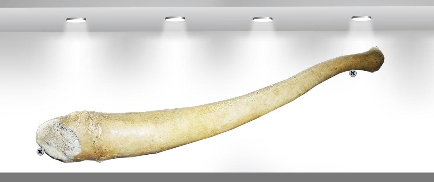 Пенис атлантического моржа за 6000 гривен