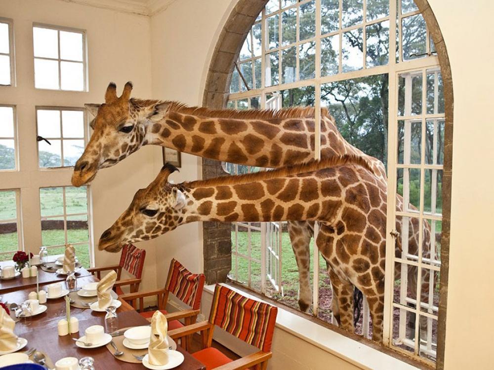 Отель с Жирафами в Кении Giraffe Manor