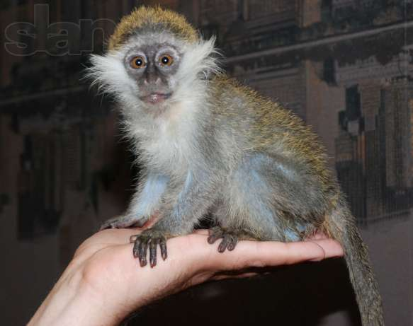 В интернете продают экзотических животных. Верветка - маленькая обезьянка