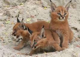 В интернете продают экзотических животных. Каракал - похож на рысь
