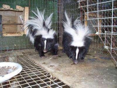 В интернете продают экзотических животных. Скунс декоративный. Говорят, у них удалены вонючие железы