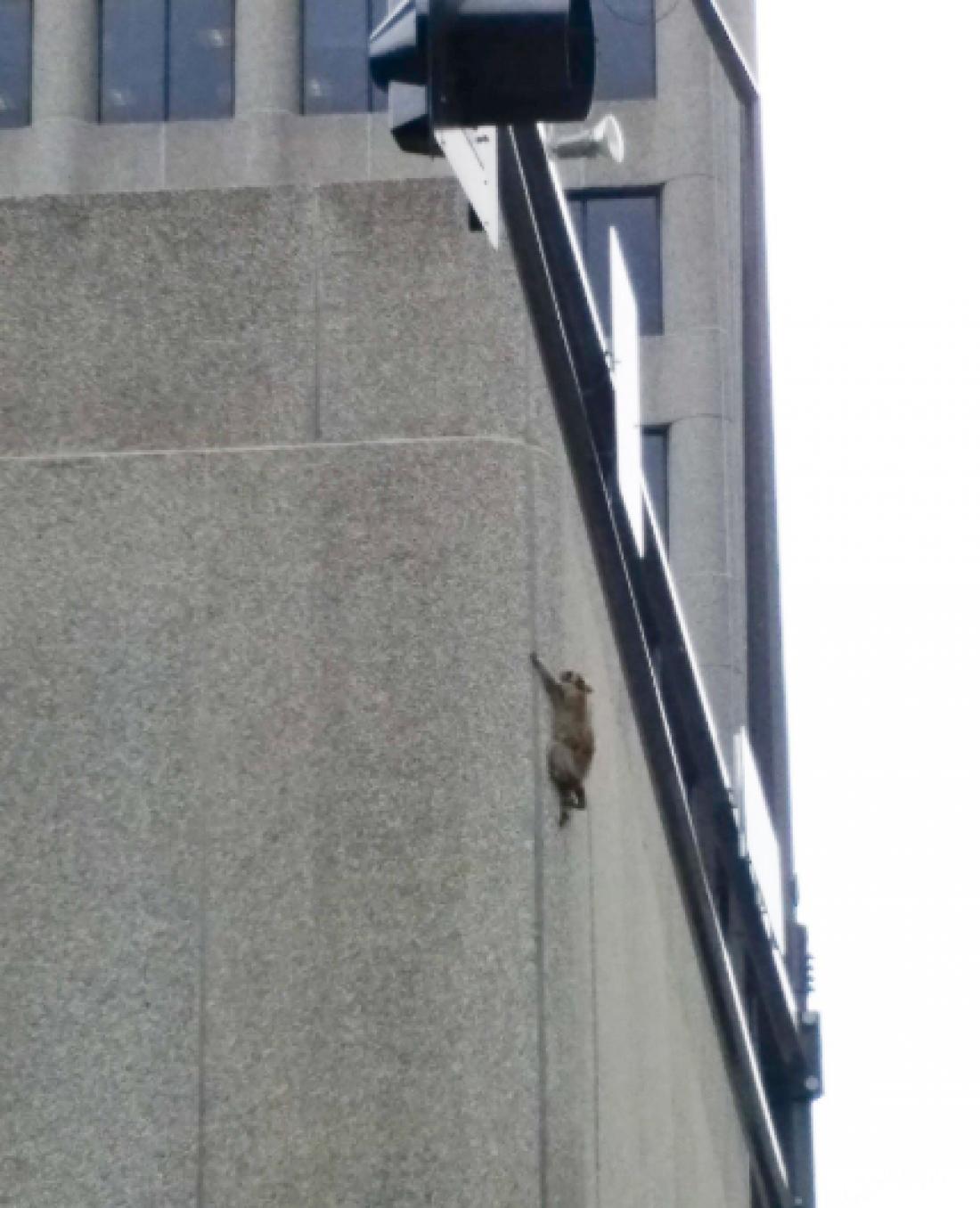 Животное по неизвестным причинам решило вскарабкаться на небоскреб