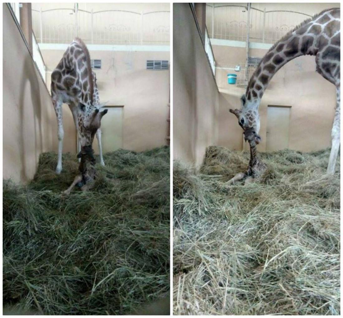 Новорожденный жираф в зоопарке
