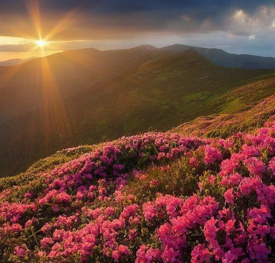 Наблюдать цветение руты обычно можно в начале июня