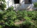 Чтобы жить до ста лет: В Крыму пенсионерка выращивала на подворье 93 куста конопли