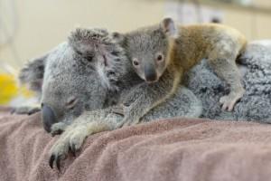 Lетеныша коалы по кличке Фантом с мамой