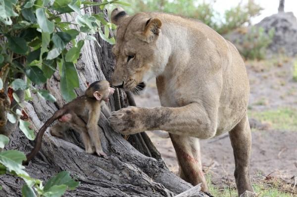 Львица решила поиграть с детенышем бабуина