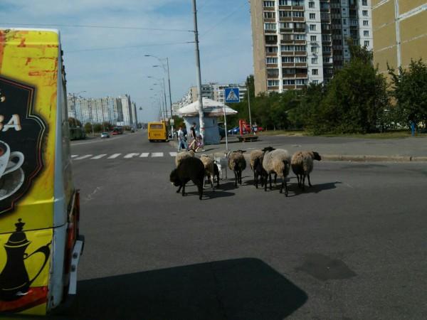 Стадо животных разгуливало по улицам микрорайона без пастуха