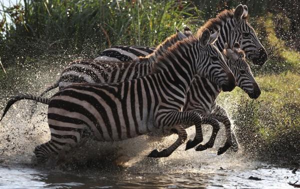 На голове и конечностях у зебры полоски уже, чем на туловище
