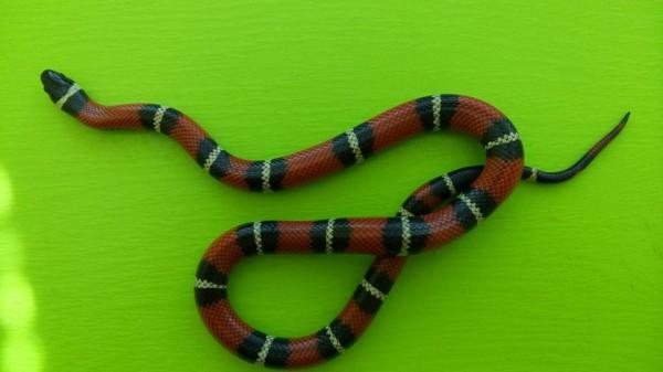 Это неядовитая королевская молочная змея