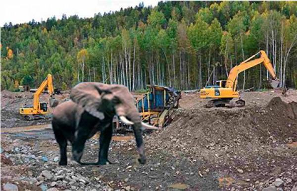 Слон разогнал добытчиков янтаря