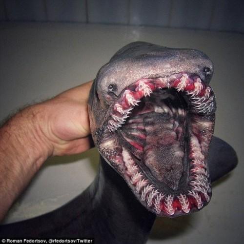 Доисторическую акулу нашли у берегов Португалии