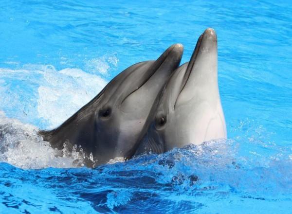 Дельфины-афалины из аквацирка Немо в Алуште