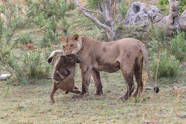Кошка поймала самку бабуина с детенышем