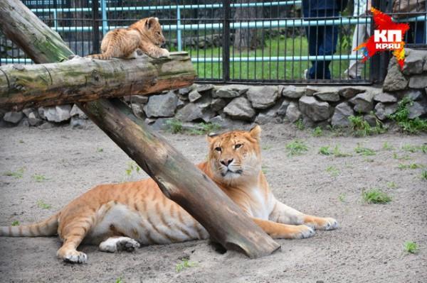 Лиилигрята в новосибирском зоопарке и лигрица Зита