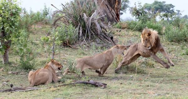 На львиц напал самец