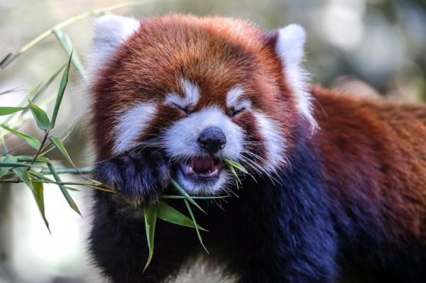 Самая вкусная веточка для панды в зоопарке Сан Диего.