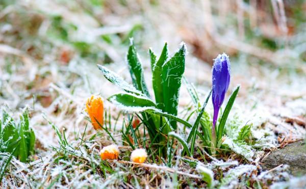 На Прикарпатті знову очікуються заморозки